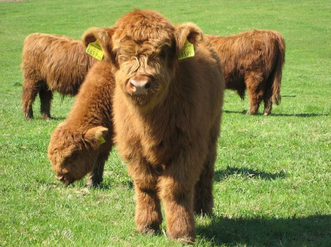 perierga.gr - ΜΑξιαγάπητες χνουδωτές αγελάδες!