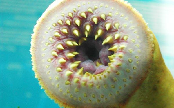 perierga.gr - Τρομακτικό ψάρι του γλυκού νερού!