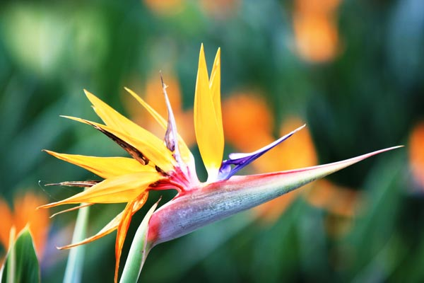 perierga.gr - Παράξενο φυτό θυμίζει παραδείσιο πτηνό!