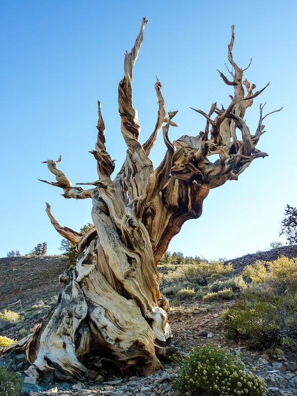 perierga.gr - Bristlecone Pine: Το μακροβιότερο δέντρο στον κόσμο!