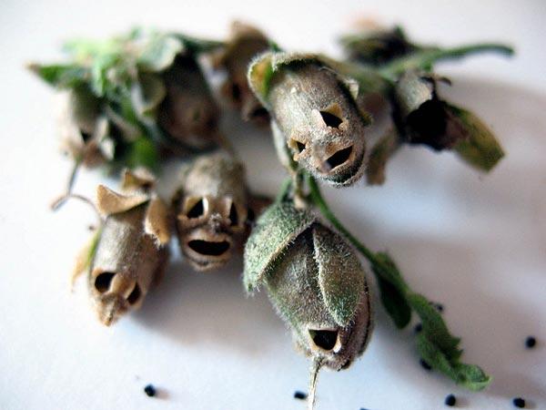 perierga.gr - Παράξενοι σπόροι που μοιάζουν με κρανία!