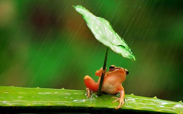 perierga.gr - Έξυπνος βάτραχος προστατεύεται από τη βροχή!