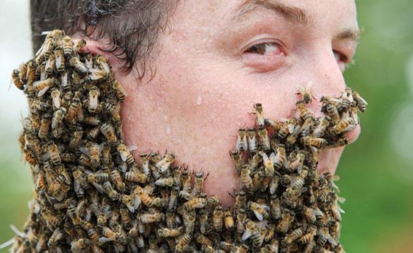 "perierga.gr - ""Γενειάδες"" μελισσών: Ένας επώδυνος διαγωνισμός!"