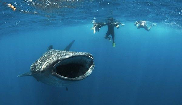 perierga.gr- Παραλίγο να τον... ρουφήξει φαλαινοκαρχαρίας!