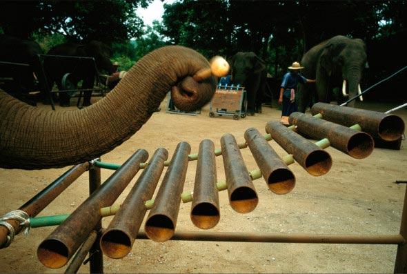 perierga.gr - Η εκπληκτική ορχήστρα των ελεφάντων!