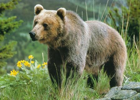 Perierga.gr - Αρκούδα ικετεύει για τροφή σε αυτοκινητόδρομο