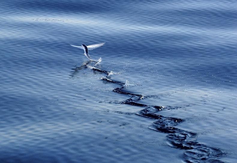 perierga.gr - Flying Fish: Το ψάρι που πετάει