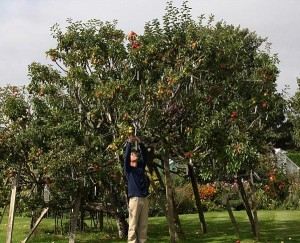 perierga.gr - Μηλιά παράγει 250 διαφορετικές ποικιλίες μήλων!