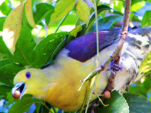 perierga.gr - Treron: Τα πολύχρωμα περιστέρια!