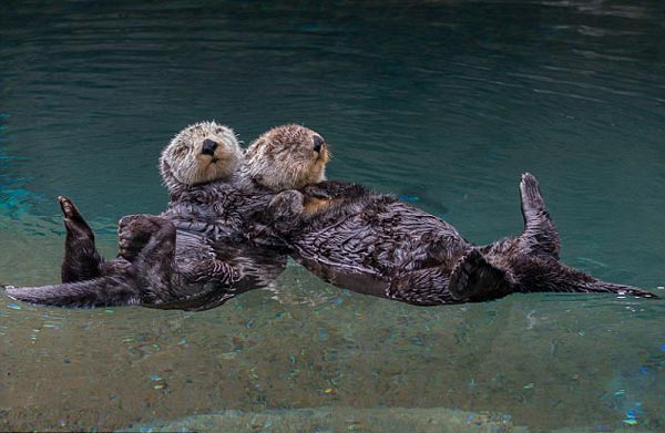 perierga.gr - Ένα αξιολάτρευτο ζευγάρι βίδρες αγκαλιάζεται στον ύπνο του!
