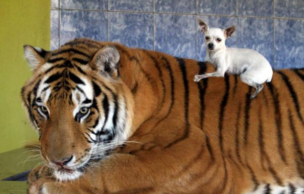 perierga.gr - Η ζωή με τίγρεις και λιοντάρια!