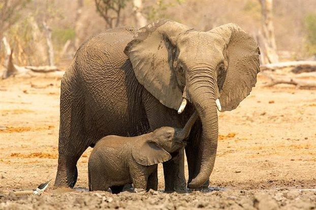 Perierga.gr - Οι ελέφαντες καταλαβαίνουν τις ανθρώπινες χειρονομίες