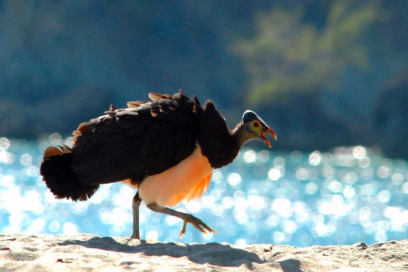 perierga.gr- Maleo: Το πουλί των... ηφαιστείων!