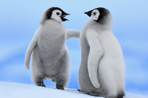 perierga.gr - Πιγκουίνοι κάνουν μαζί τα πρώτα βήματα!