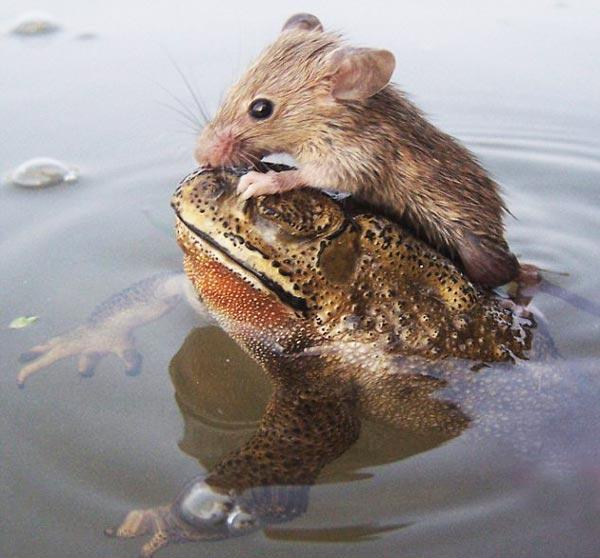 perierga.gr - Aτρόμητος βάτραχος σώζει ποντικάκι από πνιγμό!