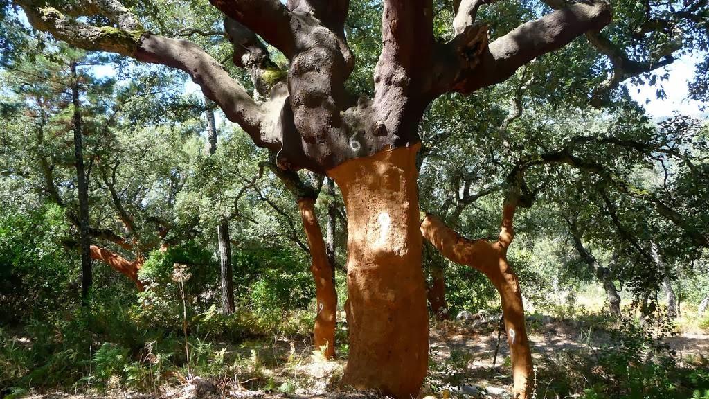 perierga.gr - Τα παράδοξα δέντρα που παράγουν… φελλό!