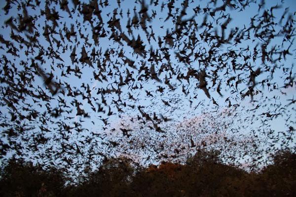 perierga.gr - Η μεγαλύτερη αποικία νυχτερίδων στον κόσμο!