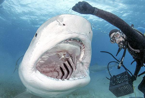 perierga.gr - Δύτης ταΐζει καρχαρία με τα χέρια!