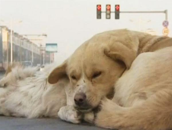 perierga.gr - Σκύλος αρνείται να εγκαταλείψει το νεκρό φίλο του! (βίντεο)