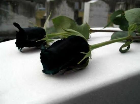 perierga.gr - Τα σπάνια μαύρα τριαντάφυλλα της Τουρκίας!