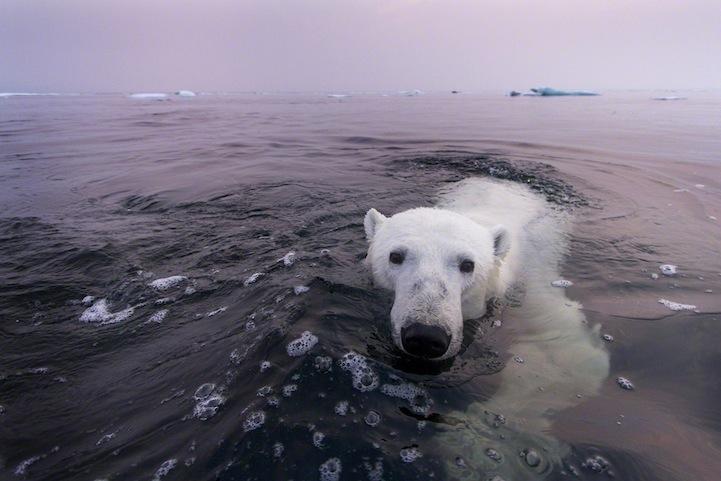 perierga.gr - Πολικές αρκούδες φωτογραφίζονται στους πάγους!