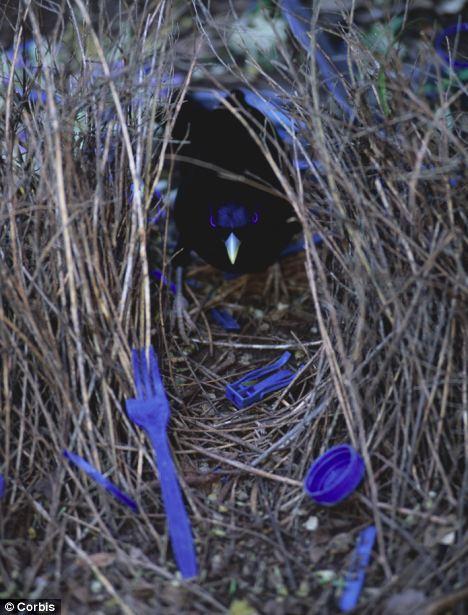 perierga.gr - Αρσενικό πτηνό χτίζει φωλιά-έργο Τέχνης για το θηλυκό!