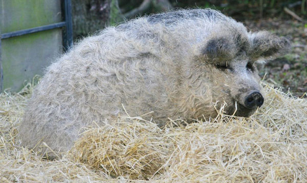 perierga.gr - Mangalitsa: Το αστείο... γουρουνοπρόβατο!