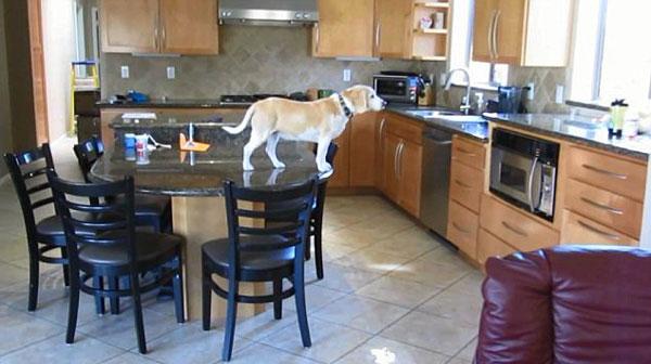 perierga.gr - Πώς ένας σκύλος κλέβει τις κοτομουκιές από το φούρνο! (βίντεο)
