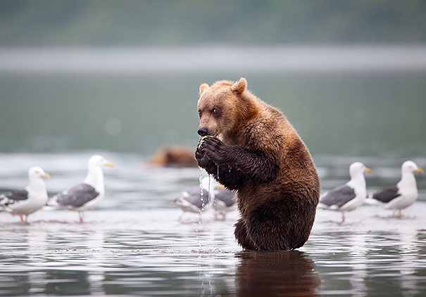 perierga.gr - Aρκούδες κάνουν ανθρώπινα πράγματα!