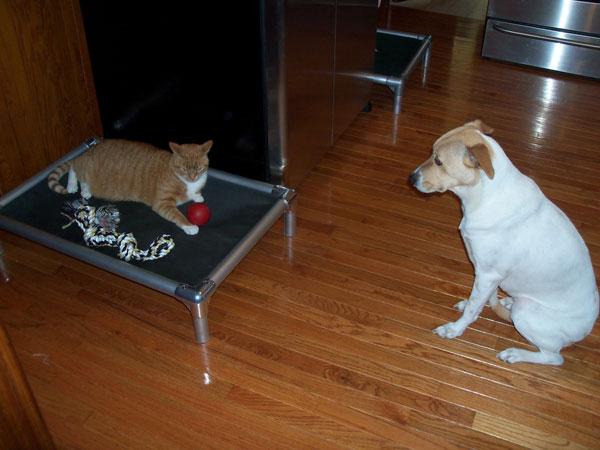 perierga.gr - Σκυλιά προσπαθούν ξαναπάρουν τα κρεβάτια τους από τις... γάτες!