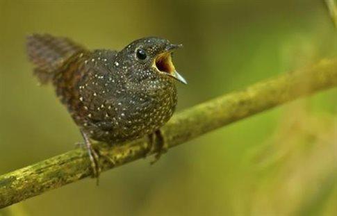 perierga.gr- Νέο είδος πτηνού με μοναδικη φωνή! (βίντεο)