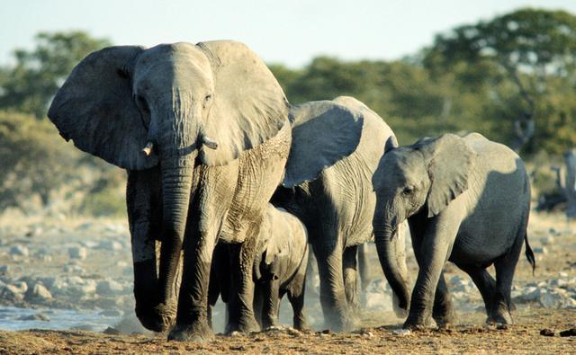 perierga.gr - Οι ελέφαντες καταλαβαίνουν τη γλώσσα των ανθρώπων!