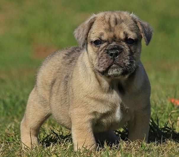 perierga.gr - Τι θα πάρετε αν διασταυρώσετε διαφορετικές ράτσες σκύλων;