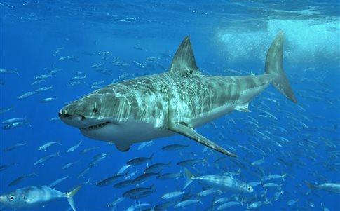 Perierga.gr - Η Λίντια ο λευκός καρχαρίας στο μέσο επικού ταξιδιού
