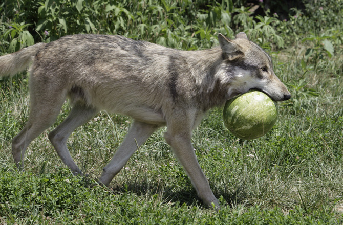 perierga.gr - Οι λύκοι απολαμβάνουν... καρπούζια!