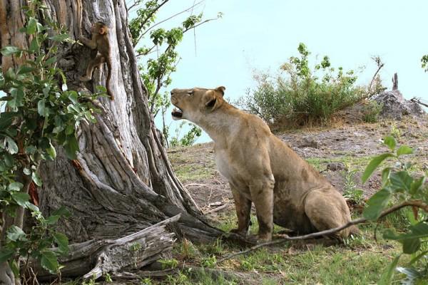 perierga.gr - Απίστευτη συμπεριφορά λέαινας σε μωρό μπαμπουίνο!