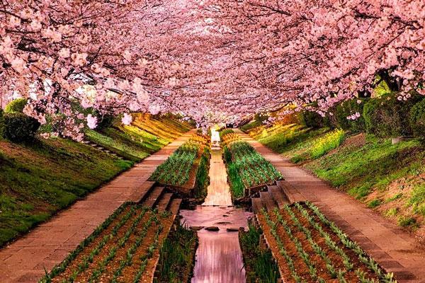 perierga.gr - Πανέμορφες ανθισμένες κερασιές στην Ιαπωνία!