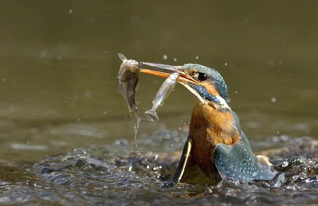 perierga.gr - Πανέξυπνος ερωδιός ψαρεύει με... δόλωμα!