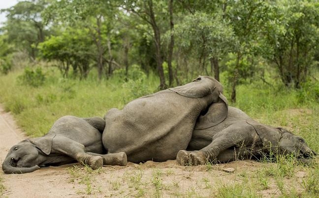 Perierga.gr - Οι ελέφαντες τα... πίνουν στη ζούγκλα!
