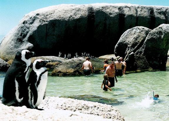 perierga.gr - Κολυμπήστε σε μια παραλία με πιγκουίνους!
