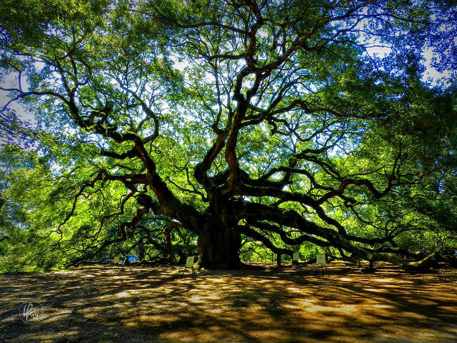 perierga.gr - Βελανιδιά-άγγελος: Ένα παράξενο δέντρο!