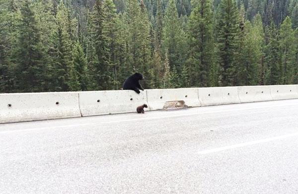 perierga.gr - Μανούλα-αρκούδα σώζει το μικρό της από την Εθνική Οδό! (βίντεο)