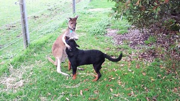 perierga.gr - Καγκουρό και σκύλος, τα καλύτερα φιλαράκια!