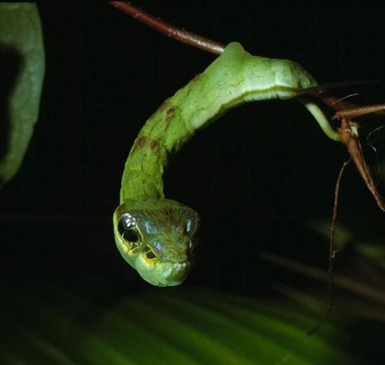 perierga.gr- Το παράξενο φίδι που είναι μια... άκακη κάμπια!