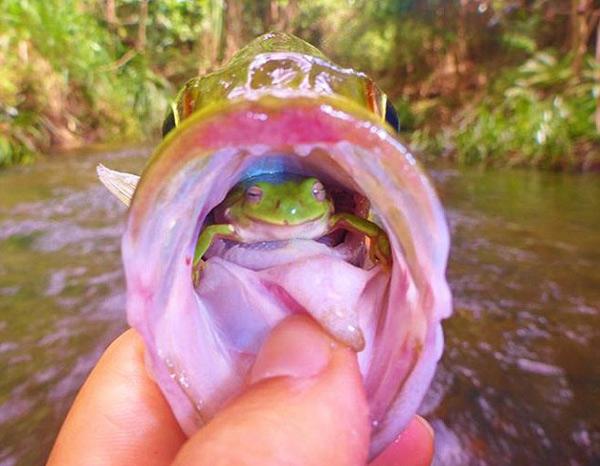 perierga.gr - Τυχερός βάτραχος σώζεται από το στόμα ψαριού!