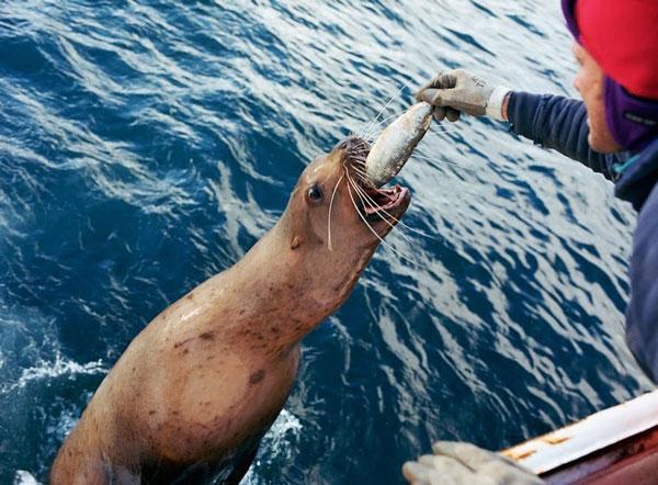 perierga.gr - Η δύσκολη δουλειά των ψαράδων στην Αλάσκα!