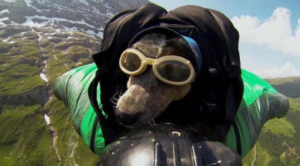 perierga.gr - Σκύλος κάνει ελεύθερη πτώση από ύψος 4.000 μέτρων! (βίντεο)