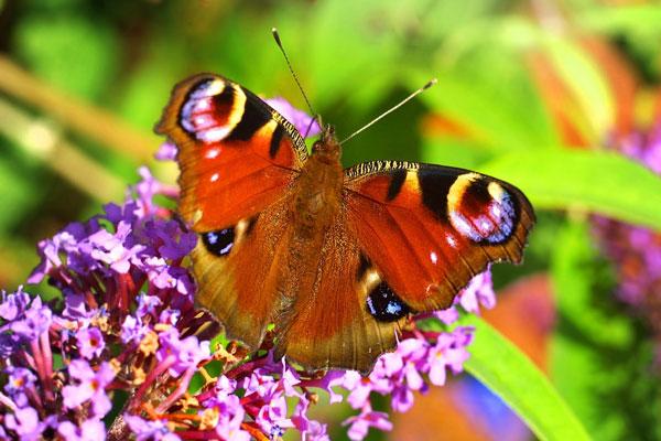 perierga.gr - Η κλιματική αλλαγή «ξεβάφει» τις πεταλούδες!