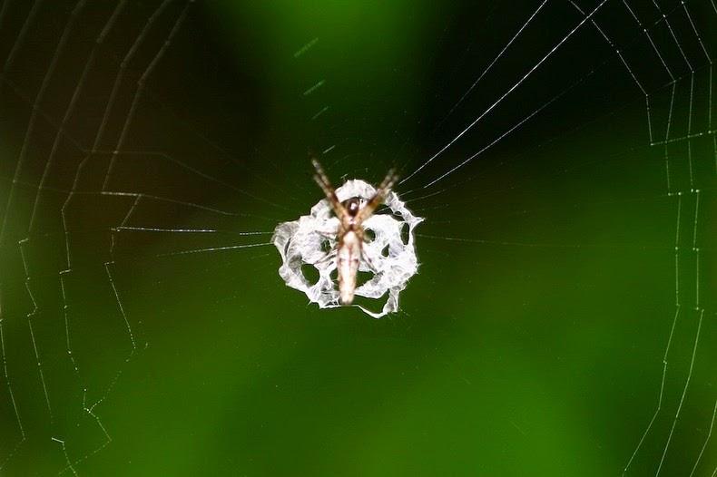 perierga.gr - Αράχνη καμουφλάρεται σαν... κουτσουλιά!