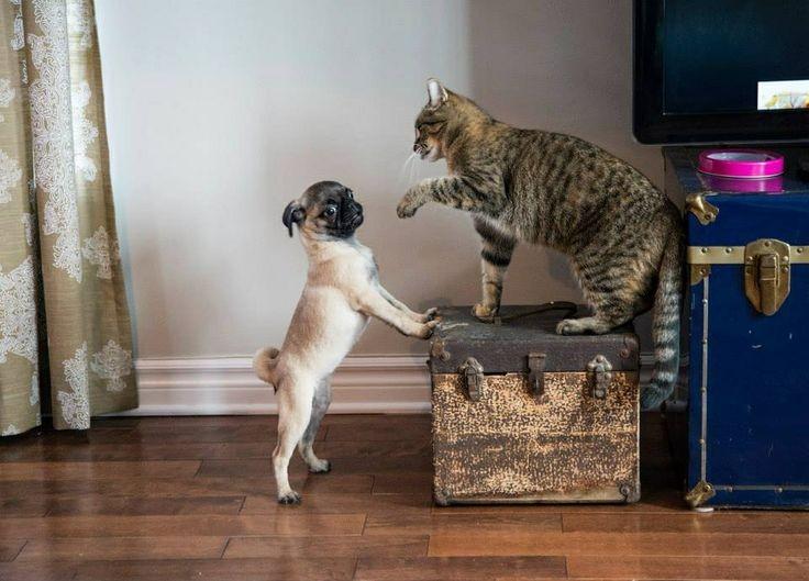 perierga.gr - Γάτες δηλώνουν στους σκύλους ότι αυτές είναι το αφεντικό!